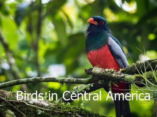 Voegel von Zentral Amerika