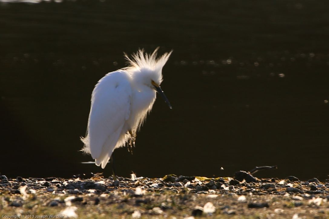 Snowy Egret in the Park