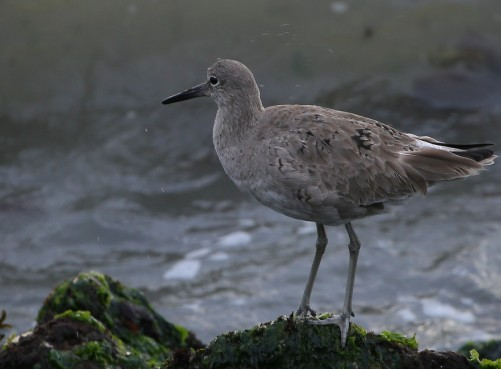Willet in Miller Knox Park