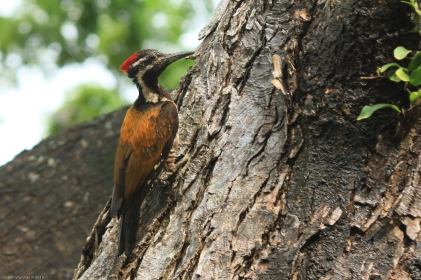 Lesser Goldenback (Black-rumped Flameback)