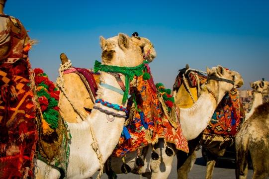 Just camels